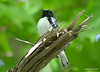 DSC_5285 Black-throated Blue Warbler June 16 2014
