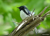 DSC_5290 Black-throated Blue Warbler June 16 2014