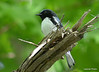 DSC_5286 Black-throated Blue Warbler June 16 2014