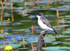 DSC_5566 Eastern Kingbird June 27 2014