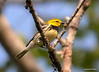 DSC_5306 Black-throated Green Warbler June 16 2014