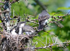 DSC_5671 Eastern Kingbird June 27 2014