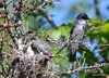 DSC_5676 Eastern Kingbird June 27 2014