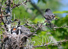 DSC_5672 Eastern Kingbird June 27 2014