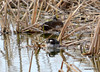 DSC_3390 Lesser Scaup May 8 2014