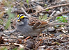 DSC_3446 White-throated Sparrow May 9 2014