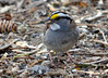 DSC_3452 White-throated Sparrow May 9 2014