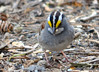 DSC_3451 White-throated Sparrow May 9 2014