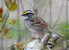 DSC_3454 White-throated Sparrow May 9 2014