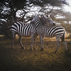 A sweet shot of two zebras at Karen's Waterhole/miti moja.
