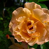 Royal Pageant Climbing Rose