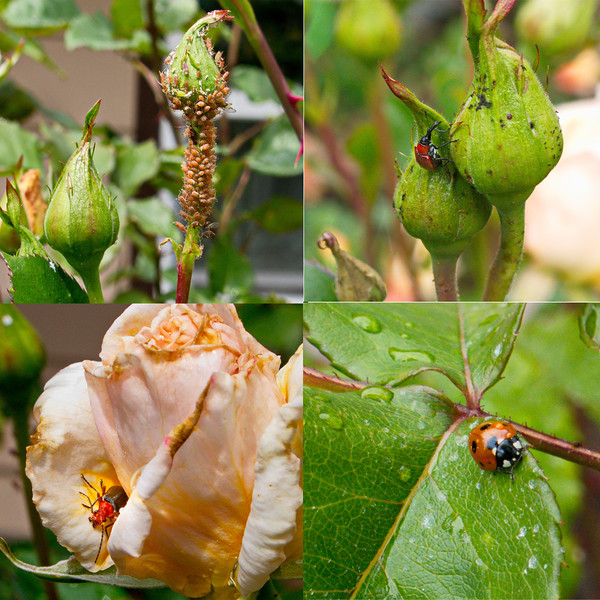 Rose insects good and bad. Top aphids and rose curculio - pests. Bottome - soldier beetle and ladybug - beneficials.