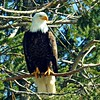 Bald Eagle Just Looking Around