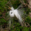 Great Egret attempting to attract a mate