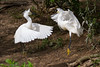 Snowy Egrets fighting over stick hunting territory
