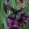 Black Swallowtail and Purple Iris