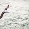 An albatross wings its way past, near the tip of the Otago Peninsula.