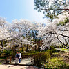 Beautiful late-blooming cherry blossoms near Namsan Public Library on Mt. Namsan, Seoul.