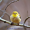 March 3, Goldfinch