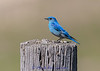 Mountain Bluebird - Sialia currucoides IMG_4896