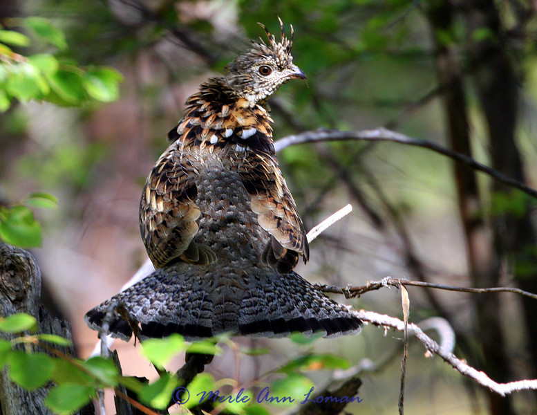 Ruffed Grouse looking right. Image 2673.