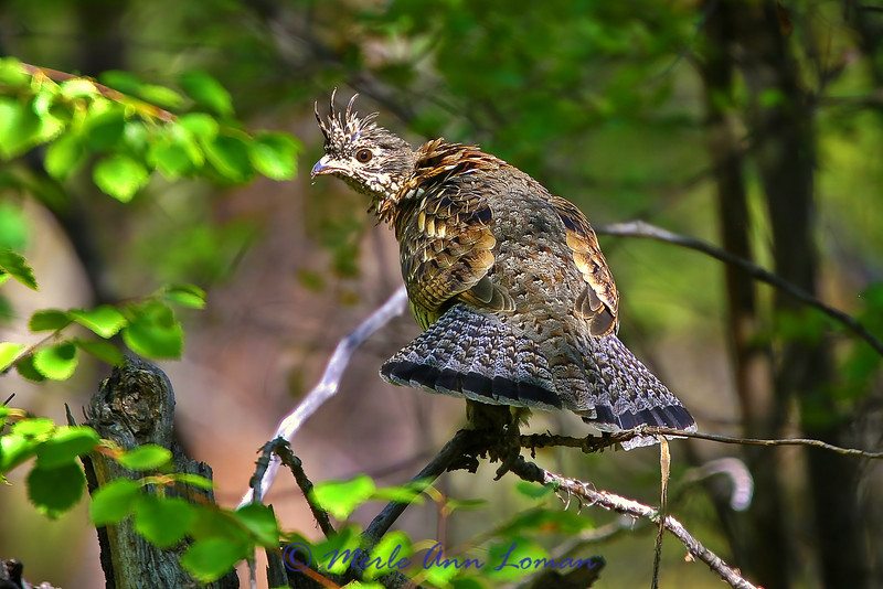 Ruffed grouse looking left. Image 2679.
