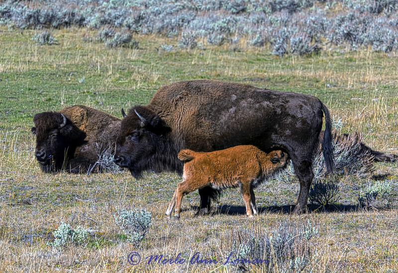 Bison cow and calf - Lamar Valley in YNP in late October