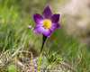20140502-IMG_4333-H-Pasqueflower
