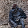 Submitted by: Paul M Littman<br /> Photo Title: Gorilla<br /> Story: As Bio Park members we visit the Zoo at least every other month.  <br /> We always stopped and visit the Gorillas.