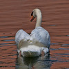 Submitted by: Paul M Littman<br /> Photo Title: Swan<br /> Story: We spotted this swan on the large lagoon and with the early morning sunlight on the water though he looked lovely.