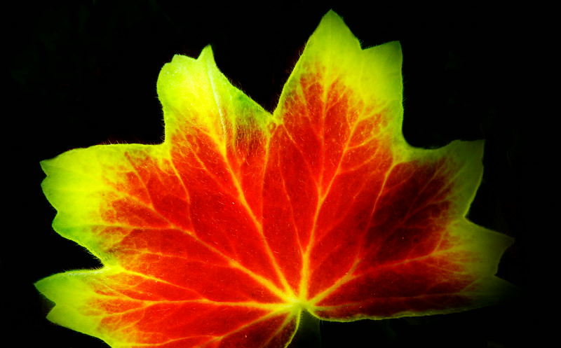 Glowing Leaf