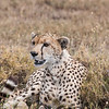 Cheetah, Acinonyx jubatus, on the Serengeti Plains in Tanzania.