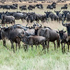 Wildebeest, Connochaetes taurinus, on the Serengeti Plains in Tanzania.