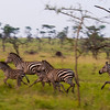 Zebra, Equus burchellii, in the Singita Grumeti Reserves, adjacent to the Western Corridor of the Serengeti Plains in Tanzania.