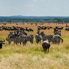 Herd of Wildebeests, Connochaetes taurinus, on Serengeti Plains in Tanzania.