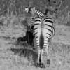 Plains Zebra (aka Burchell's Zebra), Equus burchellii, at Linyanti Wildife Reserve in northern Botswana.