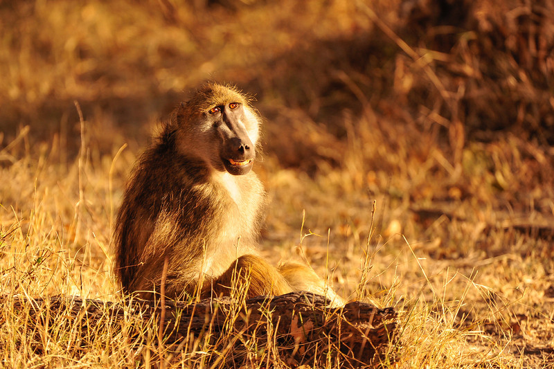 Savanna Baboon, Papio cynocephalus, at Linyanti Wildife Reserve in northern Botswana.