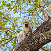 Vervet Monkey, Chlorocebus pygerythrus, in Sabi Sand Reserve, in MalaMala, South Africa.