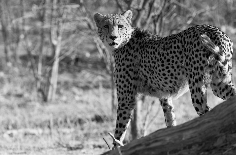 Cheetah, acinonyx jubatus, in Linyanti Wildlife Reserve in northern Botswana.