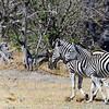 Plains Zebra (aka Burchell's Zebra), Equus burchellii, at Linyanti Wildlife Reserve in northern Botswana.