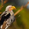Southern Yellow-billed Hornbill, Tockus leucomelas, in Sabi Sand Reserve at MalaMala, South Africa.