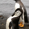 Chinstrap and Gentoo penguins diverged around 14 million years ago.