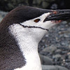 The chinstrap penguin's name derives from the narrow black band under their heads which makes it appear as if they are wearing black helmets