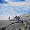 There was a small outcropping of rock near shore in Pleneau as these penguins get ready to take a plunge into the water in search of food.