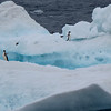 These Adelie penguins are right at home on the iceberg.