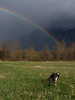 Elliot, the Golden Boy @ the end of the rainbow-meadow by Three Forks Dog Park-Snoqualmie, WA 3-2010