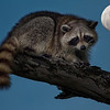Racoon evening with full moon.