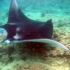 Manta rays are commonly found with fin spans of over 17 feet, while the largest Manta Ray on record measured 25 feet across.