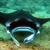 Manta Rays are extremely important to the Maldives both from an ecological point of view and also an economical standpoint: the revenues generated for the Maldives from tourists coming to scuba dive or snorkel with the Manta Rays is estimated at around USD $10 million each year.