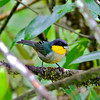 Yellow-throated Tanager (below Garcia-MPadua)